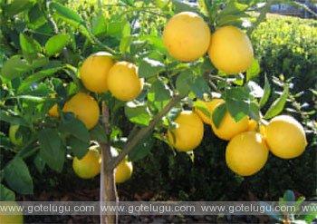lemon speciality