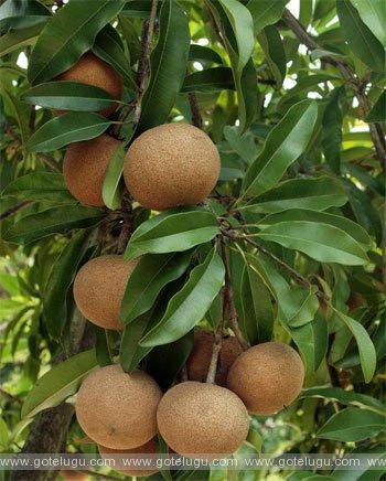 sapota tree
