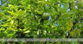 maredu tree