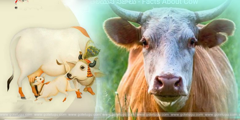 Facts About Cow