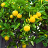 lemon tree information
